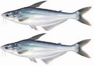 Thức ăn cho cá da trơn