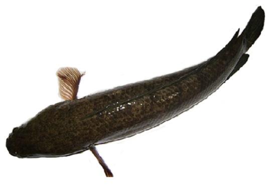Thức ăn cho cá lóc