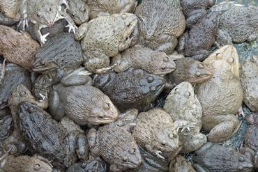 Thức ăn cho ếch
