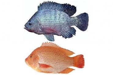 Thức ăn cho cá có vảy